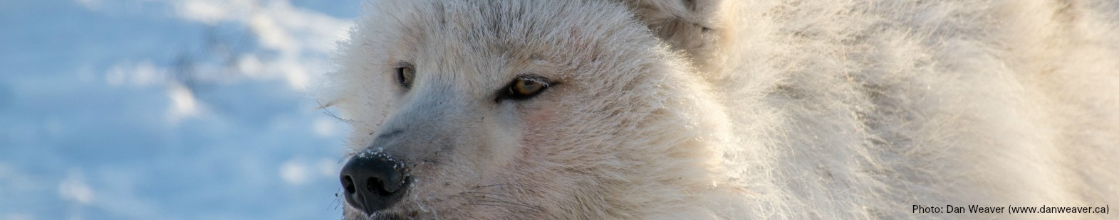 Photograph of the face of an adult Arctic wolf. Call for abstracts for ArcticNET Arctic Change Meeting in December 2017.
