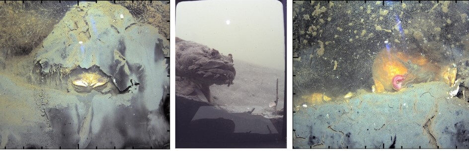 """3 photos showing stills from video footage shot by """"wormcam"""".  From left to right:  mud crab in its burrow; an Oyster Toad Fish (Opsanus tau) peering into Wormcam; a penaeid shrimp preying on a worm."""
