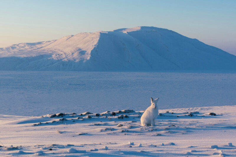Photo shows a white Arctic Hare, sitting on a snowy landscape with a mountain in the distance, looking at the camera, near the PEARL ridge lab at Eureka.