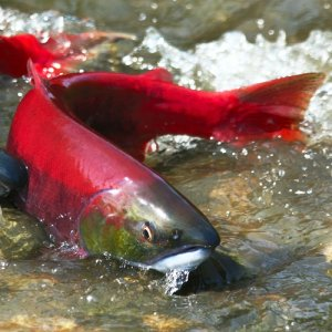 red salmon couple in water