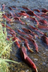 sockeye salmon swimming together in a river by the shore