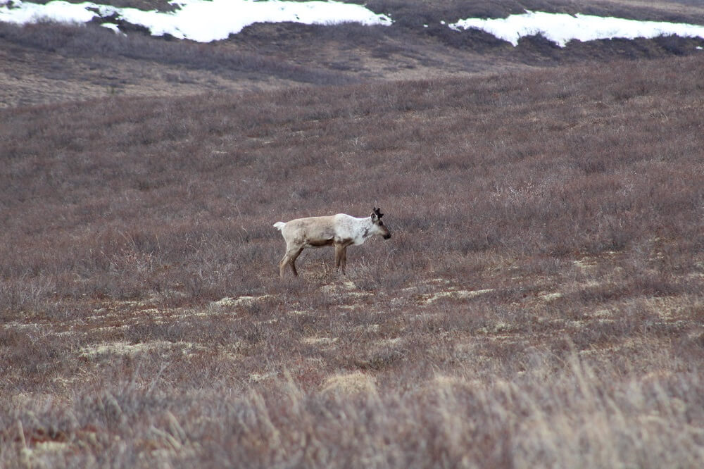 A reindeer in the distance on the tundra