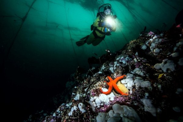 A coral reef with an orange starfish in the foreground and and scuba diver with a large flashlight in the backgroundd